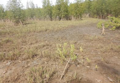 Restauration de la mangrove