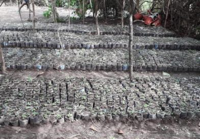 Faranah: 35.000 graines en germination