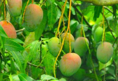 Guinée/Carte d'identité de la mangue